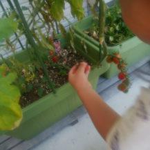 トマトの収穫🍅